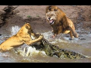 Big battles Crocodile  vs Leopard, Lion  vs  Elephant, wild Buffalo, wild Dog and wild animals