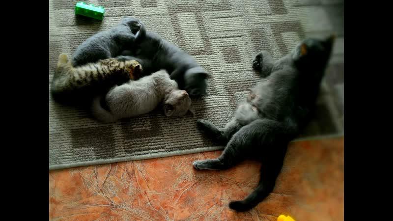 Три кота и одна кошечка милые британцы