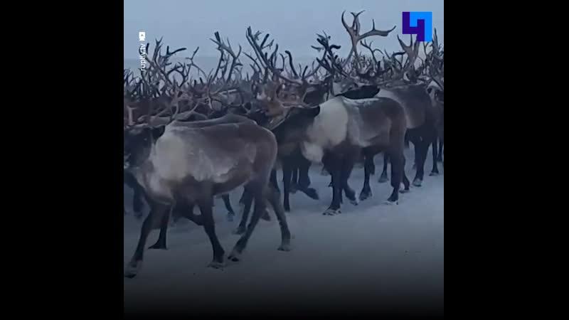 Видеорегистратор запечатлел перегон огромного стада оленей в Воркуте