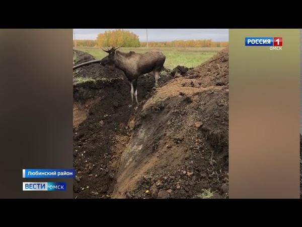 В Любинском районе прошла спецоперация по спасению лося
