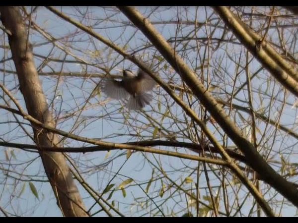 БИОСФЕРА Птица не определена Сильно похожа на пеночку но время съёмок середина ноября
