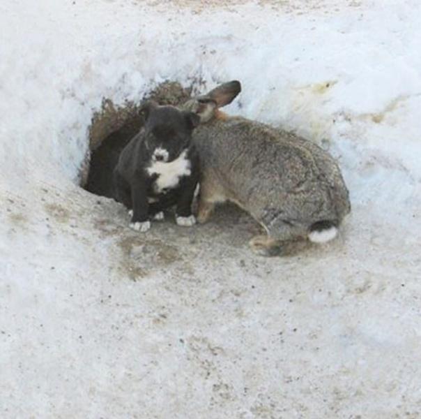 Возле города Омска, жители одного из посёлков заметили кролика, который нянчил щенят, которые потеряли свою маму «Кролик вылизывал малышей, чистенькие такие щенята у него были. Если бы не он,