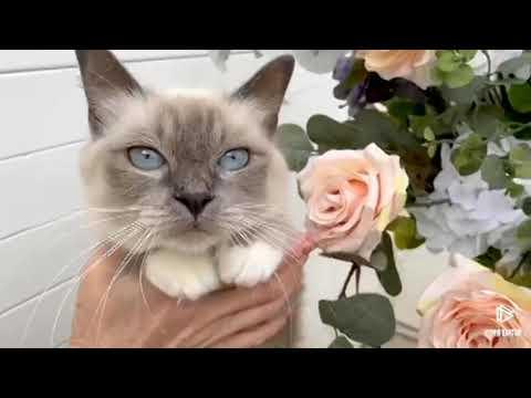 Кошка Джулия Священная Бирма Клип №94