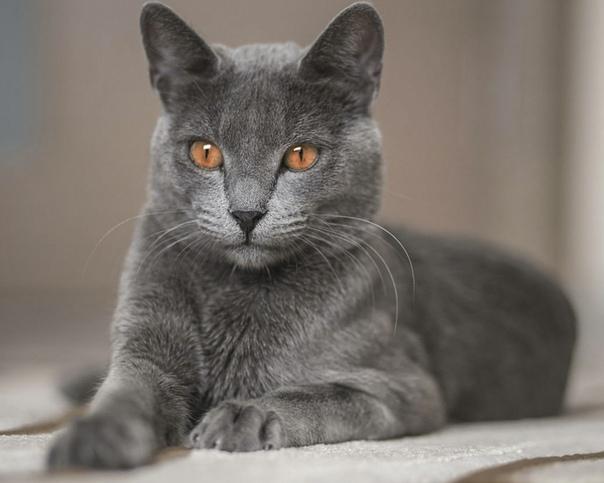 russian blue cat - HD1200×960