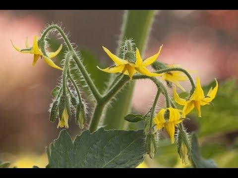 Обязательная подкормка томатов во время их цветения