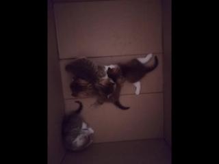 Шотландские котятки, через месяц продам