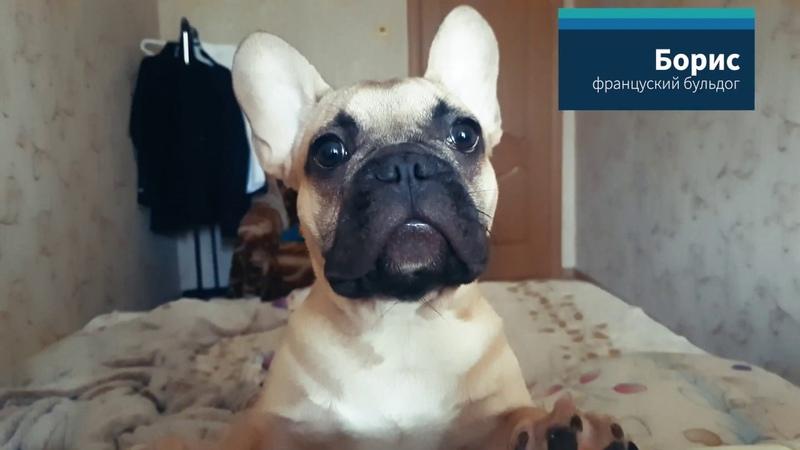 🔴Французский Бульдог Борис | Купил Невероятного Щенка! | French Bulldog Boris