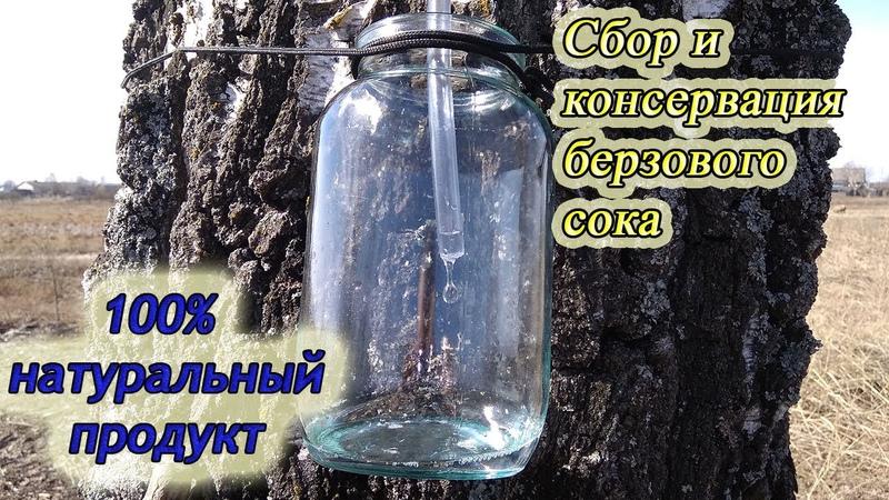Заготовка и консервация березового сока для длительного хранения без химии Birch sap preservation