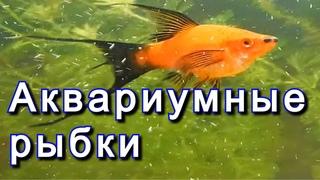 Аквариум Меченосец лирохвостые Lyretail Swordtails Живородящие аквариумные рыбки Аквариумистика