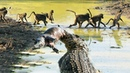 SMART BABOONS Crossing A River When Crocodile Have Lunch
