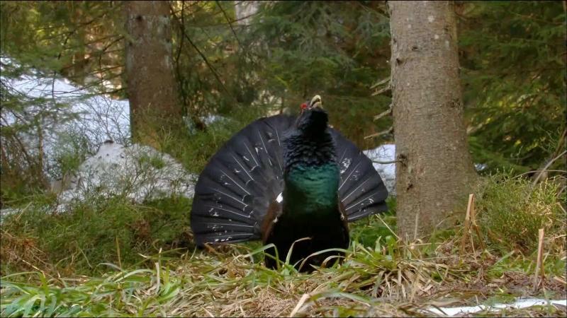 «Дикая природа Германии (03). Шварцвальд» (Познавательный, животные, 2011)
