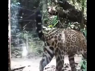 Реакция диких животных на своё отражение в зеркале
