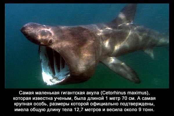 валтея - Интересные факты о акулах / Хищники морей.(Видео. Фото) ZUdyEwDyBps