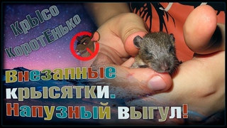 Внезапные крысята! 😲 Очередное прибавление в приюте! 😣 Четыре декорашки и пасюк. 🐭 (Wild Rats) 🐭