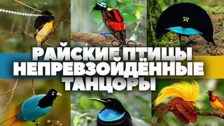"""Райские птицы - непревзойдённые танцоры.  HD 1080. """"Очевидное - Невероятное""""."""