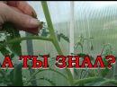 Правила пасынкования томатов