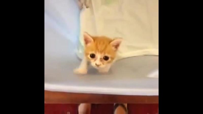 A Deathmetal Kitten · coub, коуб