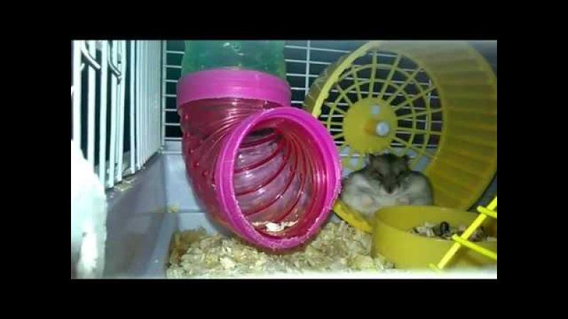 Хомяк спит в колесе