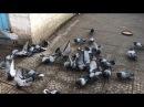 Кормление голубей николаевские торцовые, сивые