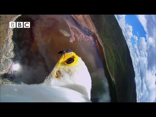 Earthflight (Winged Planet) - Spectacular Fish Eagle Hunts Flamingos (Narrator David Tennant)