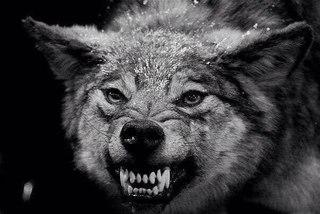 Волчий оскал | ВКонтакте