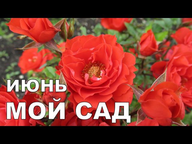 Алёнин сад в ИЮНЕ 2016 Alena's garden in JUNE 2016 Allotment diary