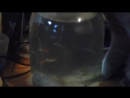 мой кот Барсик пьет воду из банки с рыбками-29.12.15