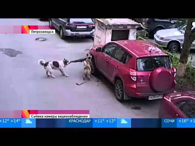 Собаки против машины