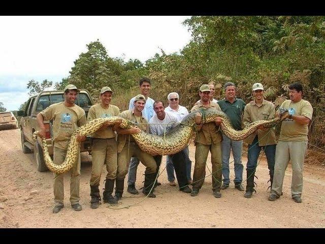 Гиганты мира животных Самая большая змея Документальные фильмы HD