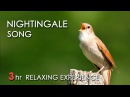 BEST NIGHTINGALE SONG 3 Hours REALTIME Nightingale Singing NO LOOP Birdsong Birds Chirping