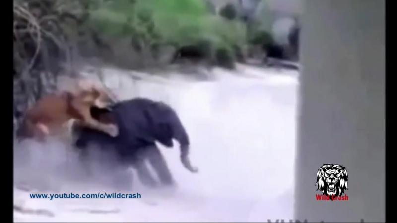 Самое удивительное диких животных атак. Кобра, Слон, Лев, Крокодил. Бои животных. » FreeWka - Смотреть онлайн в хорошем качестве