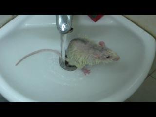 крысик моеться
