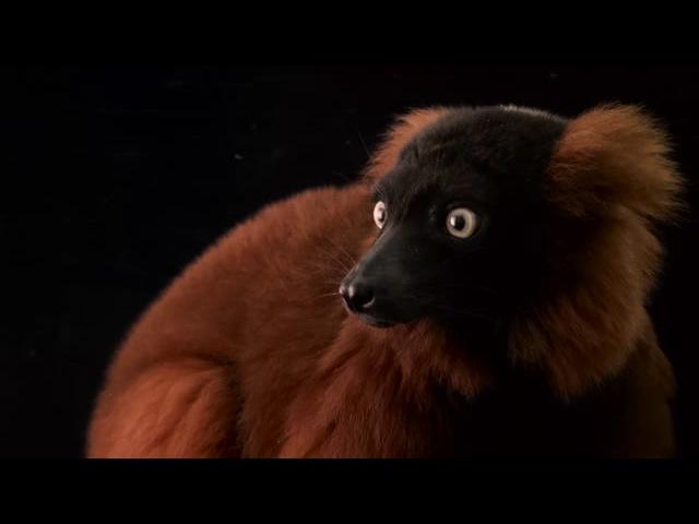 Рыжий вари Red ruffed lemur Varecia rubra at the Miller Park Zoo
