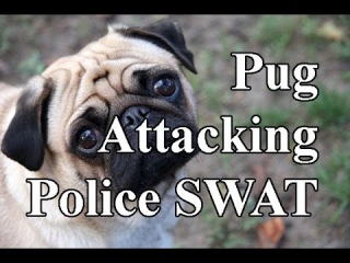 Fearless Pug attacking the Police SWAT. Real Action Funny Video.