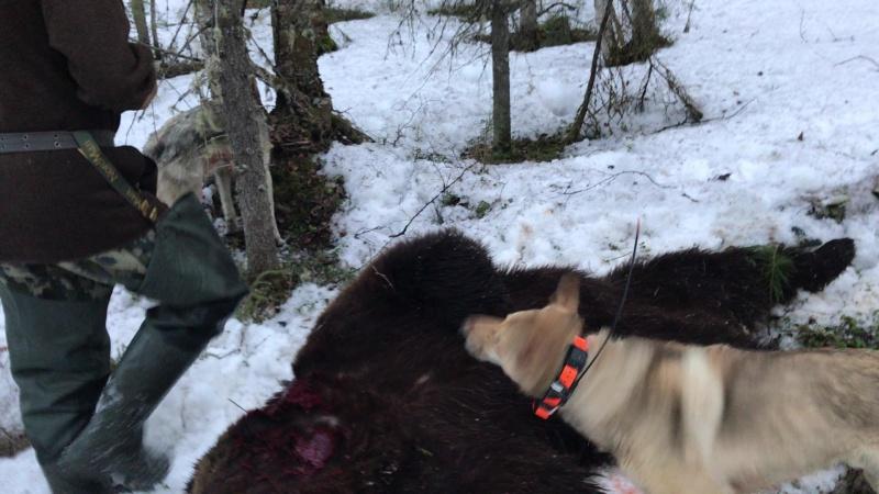 Охота на медведя с лайками весна 2017 часть 2