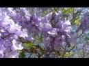 Жакаранда мимозолистная, самые красивые цветущие деревья мира, 13/01-18/05/2017