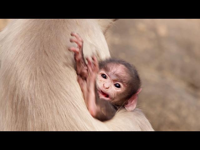 Baby-sitting monkeys - Life Story: Episode 6 - BBC One