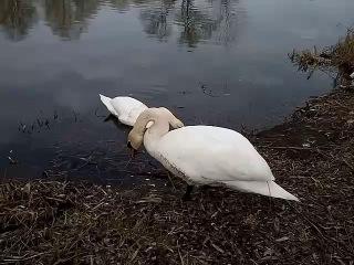 Кормлю лебедей
