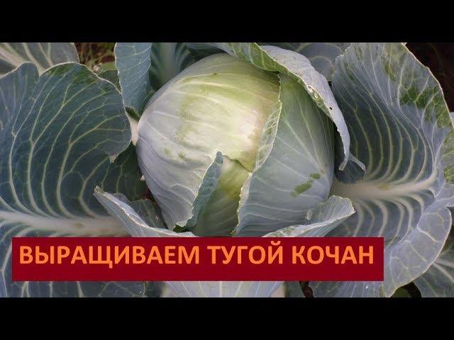 Как вырастить тугой кочан капусты (05.08.2017)