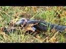 Anchieta's cobra Naja anchietae also called the Angolan cobra locked in a fight