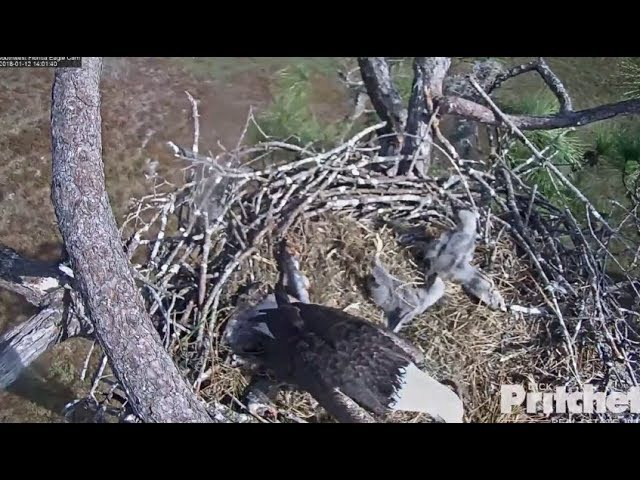 E11 On Back ~ Dad Knocks Over With A Stick w/ SLO MO 1.12.18 SWFL Eagles ~