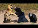 Amazing Mother Bear Protects Cub from Tiger - Tiger vs Bear