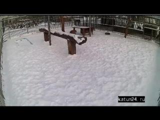 Веб-камеры К24. Трапеза тигров в барнаульском зоопарке