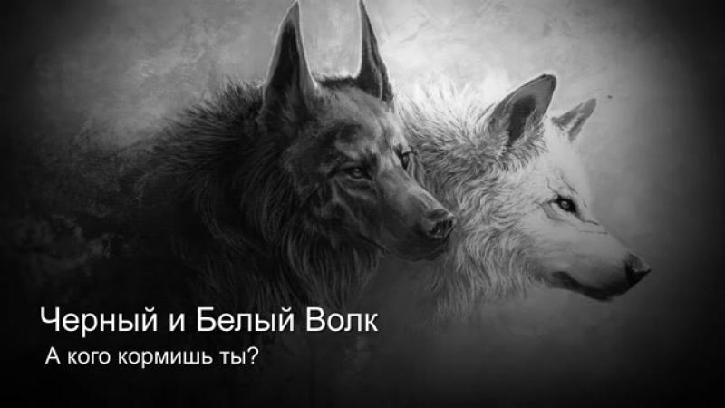 Чёрный и белый волки