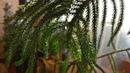 Араукария не обычное растение Но оно прекрасно По просьбе зрителей моего канала
