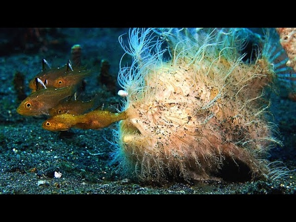 This Hairy Frogfish's Bite is Too Fast For Slow Motion