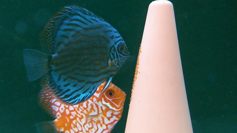 Дискусы Отнеристились В Общем Аквариуме (Discus Spawn In The General Aquarium)