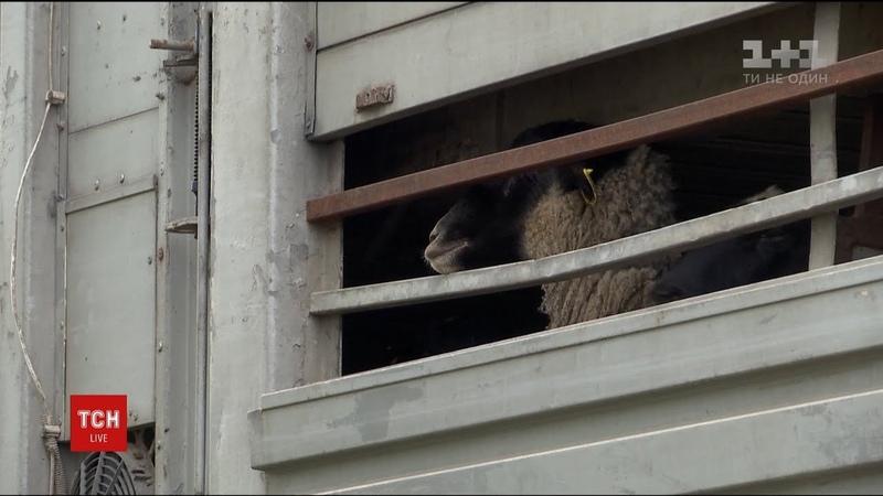 Зоозахисники на Одещині намагаються врятувати замурованих у фурі овець