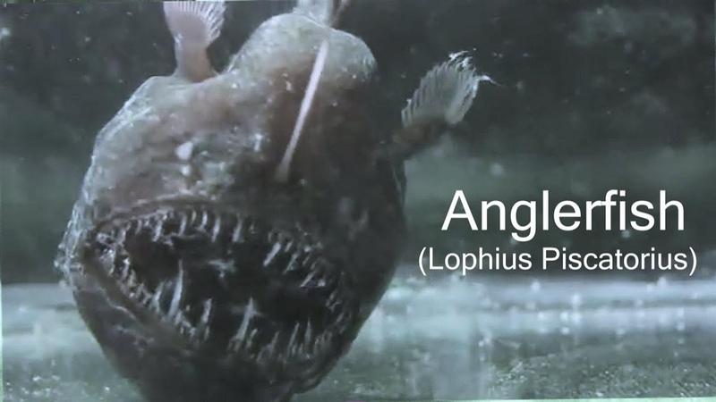 Anglerfish or Monkfish Lophius piscatorius