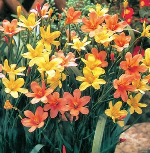 Гомерия Красивое луковичное растение родом из мыса Доброй Надежды (Южная Африка) из семейства Ирисовых. Крайне необычное цветовое сочетание объединяет две разновидности: Homeria ochrolueca